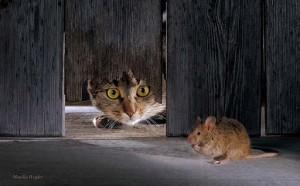 chat-qui-chasse-300x186.jpg