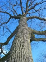 grand-arbre-sans-feuilles-de-chene-en-hiver.jpg