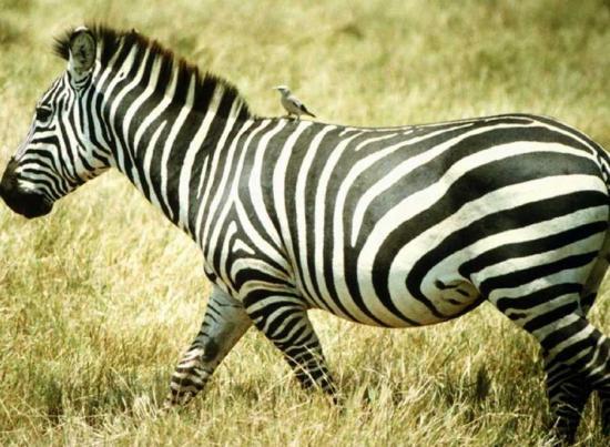zebre-3.jpg